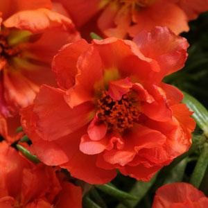 Happy Hour Orange Portulaca