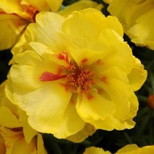 Happy Hour Lemon Portulaca