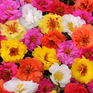 Happy Trails Tropical Mix -Trailing Portulaca