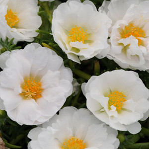 Happy Trails Tropical White Trailing Portulaca