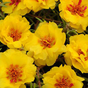 Happy Trails Yellow Trailing Portulaca