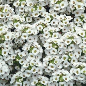 ALYSSUM CLEAR CRYSTAL WHITE