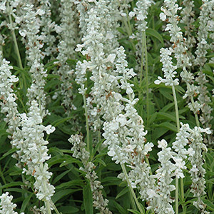 Victoria White Salvia Mealy-Cup Sage