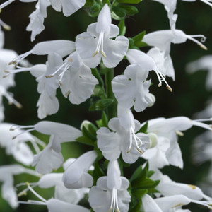 Summer Jewell White Salvia