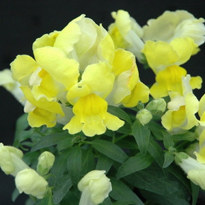 Floral Showers Yellow Snapdragon