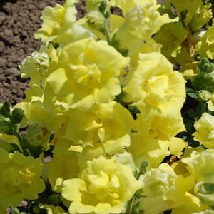 Twinny Yellow Shades Snapdragon