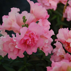 Twinny Rose Snapdragon