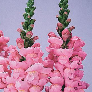 Maryland Yosemite Pink Snapdragon