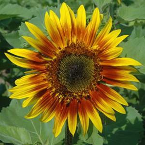 The Joker Sunflower