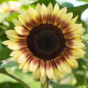 Pro Cut Red-Lemon Bi-color Sunflower