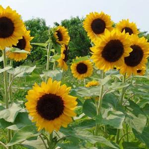 Sunrich Orange DMR Sunflower