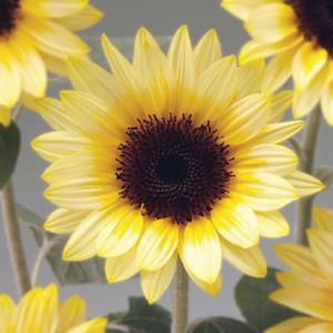 Sunrich Summer Limoncello Sunflower