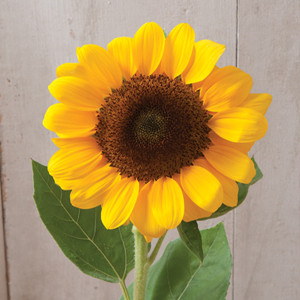 Vincents Choice Sunflower