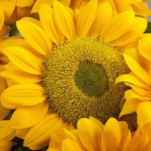 Vincents Fresh Sunflower