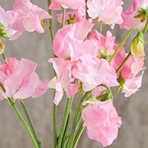 Sweet Pea Elegance Pink Diana