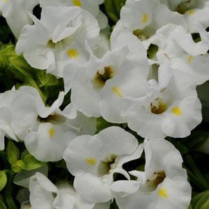 Torenia Kauai White -Wishbone Flower