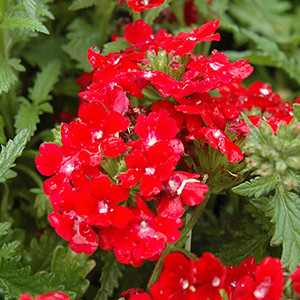 Verbena Obsession Red