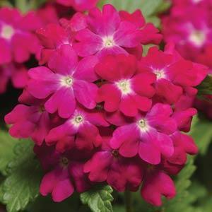 Verbena Quartz XP Carmine Rose