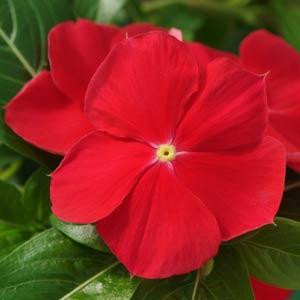 Mediterranean XP Red Vinca