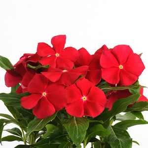 Pacifica XP Really Red Vinca