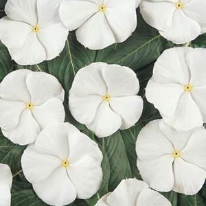 Pacifica XP White Vinca