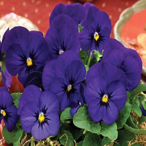Penny Deep Blue Viola