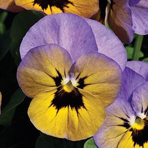 Penny Marlies Viola
