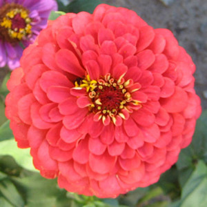 Benary's Giant Coral Zinnia