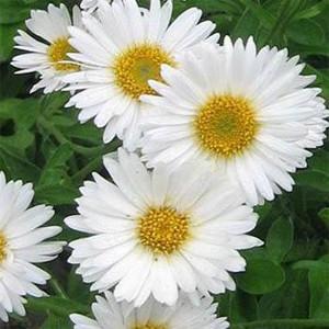 Alpine White Aster Seeds