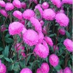 Bonita pink aster seeds 2bseeds bonita pink aster seeds mightylinksfo