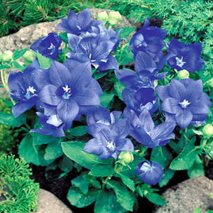 Astra Semi-Double Blue Balloon Flower
