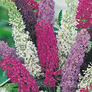 Butterfly Bush Mix
