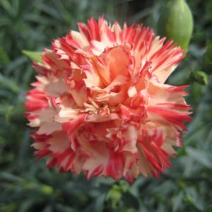 Orange Cream Carnation