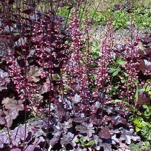 Purple Palace Coral Bells Heuchera