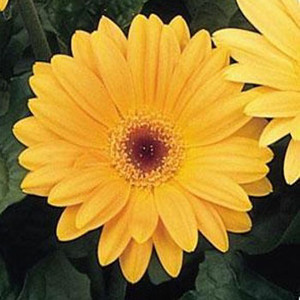 Gerbera Daisy Yellow