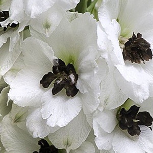 Pacific Giant Percival Delphinium
