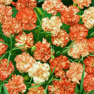 Orange Ripple Carnation