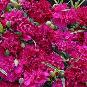 Magenta Fizz Carnation