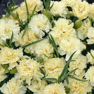 Lemon Fizz Carnation