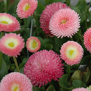 Tasso Pink English Daisy (Bellis)