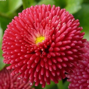 Tasso Deep Rose English Daisy (Bellis)