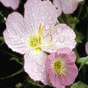 Pink Evening Showy Primrose