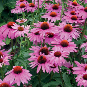 Primadonna Deep Rose Improved Echinacea