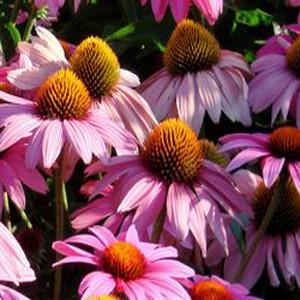 Feeling Pink Echinacea Purpurea