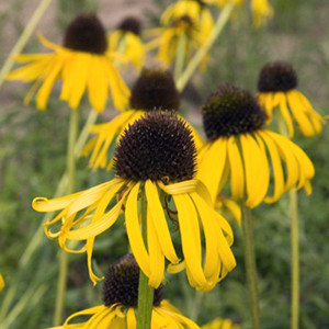 Paradoxa Ozark Yellow Coneflower