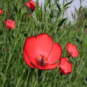 Scarlet Red Flax Tender Perennial