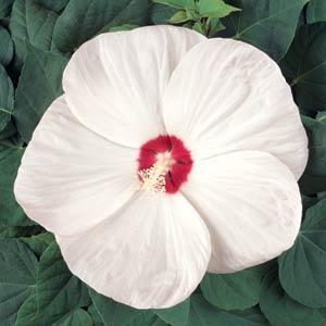Luna White Hibiscus
