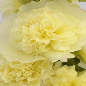Chaters's Double Golden Yellow Hollyhock