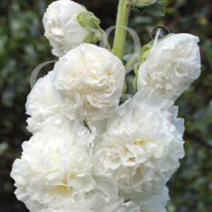 Chaters's Double White Hollyhock