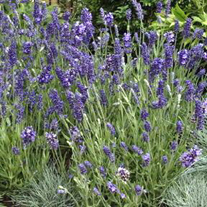 Ellagance Purple English Lavender